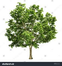 Maple Tree Symbolism by Maple Tree Isolated Stock Illustration 29060209 Shutterstock