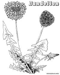 dandelion coloring pages coloring pages to download and print