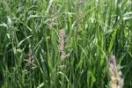 reed canarygrass (<b>Phalaris</b>