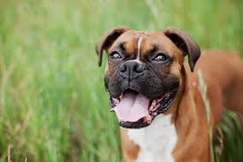 boxer dog uk boxers what you need to know cherrydown vets basildon