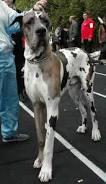 كلب الجرين داين Images?q=tbn:ANd9GcR1Pe-fO3yyXnRiRS-rZqV0Et7o9nv6eammmPYvEF4cxORmGCQmBiqV_WWn