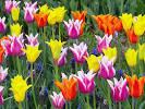 Keukenhof สวนดอกไม้ที่ใหญ่ที่สุดในโลก ตระการตาแห่งสีสัน เนเธอร์แลนด์