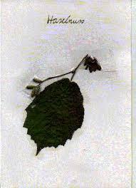 David Wellmann - Herbarium - Haselnu1mi
