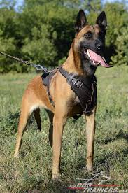 belgian sheepdog chow mix agitation protection attack leather dog harness perfect for