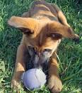 boxer shepherd mix