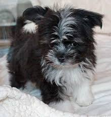 3 australian shepherd mix puppies for adoption australian shepherd maltese puppie puppy mix for sale for sale in