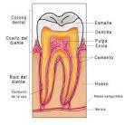 Un <b>diente</b> es un órgano blanco
