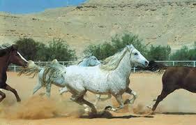 تاريخ الحصان العربي في العالم Images?q=tbn:ANd9GcR6JLENYmtvAfasFwlLnRal90QsDDhvZzx1378HO1jmt8fjqvKy