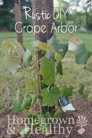 rustic diy grape arbor homegrown in the valley