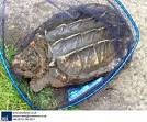 largest snapping turtle ever recorded
