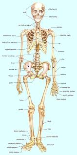Bill Nye Digestion Worksheet Best 20 Skeletal System Functions Ideas On Pinterest The Human