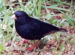 Dusky indigobird