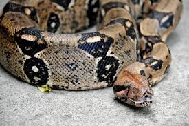 time to move woman u0027s home is crawling with hundreds of snakes