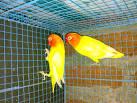 Pin Harga Kandang Lovebird Xpx Biaya Untuk Beternak on Pinterest
