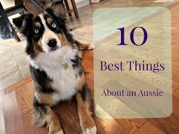 6 month old mini australian shepherd 10 best things about an australian shepherd youtube