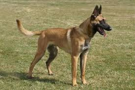 belgian shepherd nc belgian malinois for sport police personal protection and family