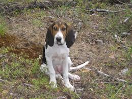 bluetick coonhound oregon oregon bobcat pursuit biggamehoundsmen com