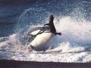 الحوت الازرق العملاق (ملك البحار) و الحوت القاتل (وحش البحار)