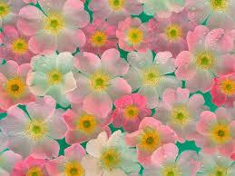 வால்பேப்பர்கள் ( flowers wallpapers ) 01 - Page 3 Images?q=tbn:ANd9GcRCYqcB0A0cJkhLS_idwqo8Lj7rkxTqrGcx2Zs68mE8dq3X0rYJ