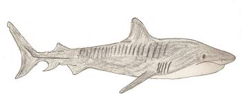 drawn shark tiger shark pencil and in color drawn shark tiger shark