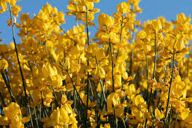 Tree With Bright Yellow Flowers - free images blossom field sunlight flower bloom floral