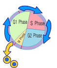 Cell Cycle Control