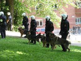 belgian shepherd uk breeders police dog wikipedia