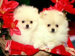 cute christmas puppies pomeranian merry christmas card puppy