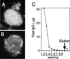 a self t cell epitope induces autoantibody response mechanism for