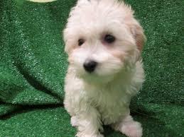 australian shepherd x pomeranian for sale maltese pomeranian mix puppies for sale 29 background wallpaper