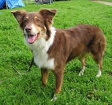 husky x australian shepherd for sale australian shepherd wikipedia