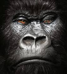 القرود انواعها  ونبذه عنها والصور Images?q=tbn:ANd9GcRGG47EKqPAHRxtTzp9ytMqIieejoPSnjBFsUWukIe577hj3uvngw