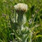 Image result for Cirsium horridulum