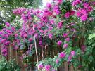 HCM - Bán các giống cây <b>hoa</b> hồng đủ màu, bông to, <b>đẹp</b>, dễ trồng!