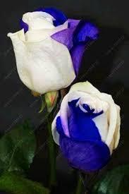 50 blue daisy blue cineraria easiest growing flower hardy
