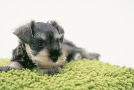 zwerg affenpinscher miniature schnauzer dog breed information pictures