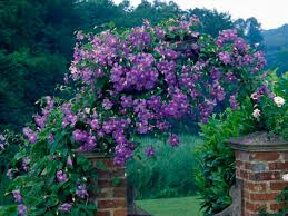 guide to climbing clematis plants hgtv