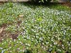 Image result for Isotoma fluviatilis