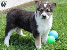 husky x australian shepherd for sale wolf german shepherd puppies sale australian shepherd mix