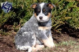 australian shepherd queensland heeler australian cattle puppies puppy dog gallery