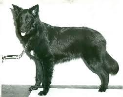 belgian shepherd nc belgian sheepdog history u0026 training temperament