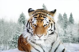Siberian tiger in the wild laying down