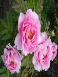 File:<b>Paeonia</b> suffruticosa01