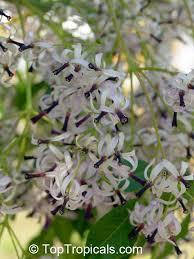 toptropicals com rare plants for home and garden plants