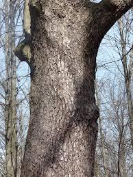 White Oak Bark Silvatica Yarns Oaks At Devonwood Conservation Area