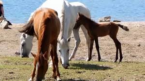 thanksgiving horse pictures salt river wild horses youtube