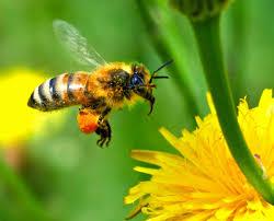 Abeille ramenant du pollen dans ses corbeilles.