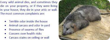 How Do You Get Rid Of Possums In The Backyard by How To Remove Dead Animal Smell In House Car Or Outside