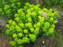 Flowers Plants by List Of The Largest Genera Of Flowering Plants Wikipedia