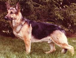 belgian malinois ear cropping german shepherd faq frequently asked questions